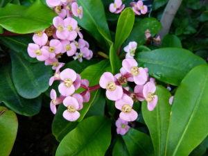 Square-stemmed, pink Euphorbia leuconeura