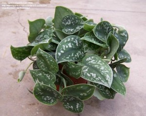 Silver, velvety, heart-shaped Pothos Silver Splash