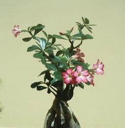 Pink, swollen stem, Desert Rose plant