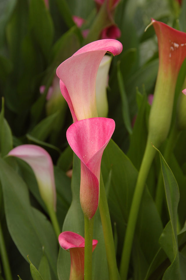 Pink flowers on Calla Lily