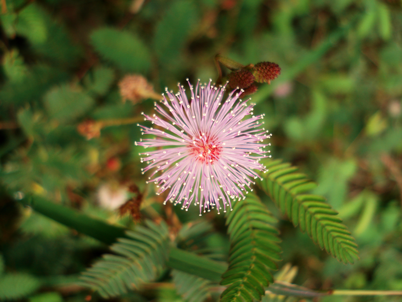 Pink fluffy flowered Mimosa pudica or Sensitive Plant )