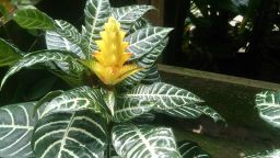 Yellow, striped Zebra Plant