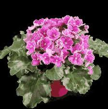 African-violet-plant