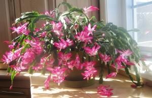 Pink Christmas Cactus