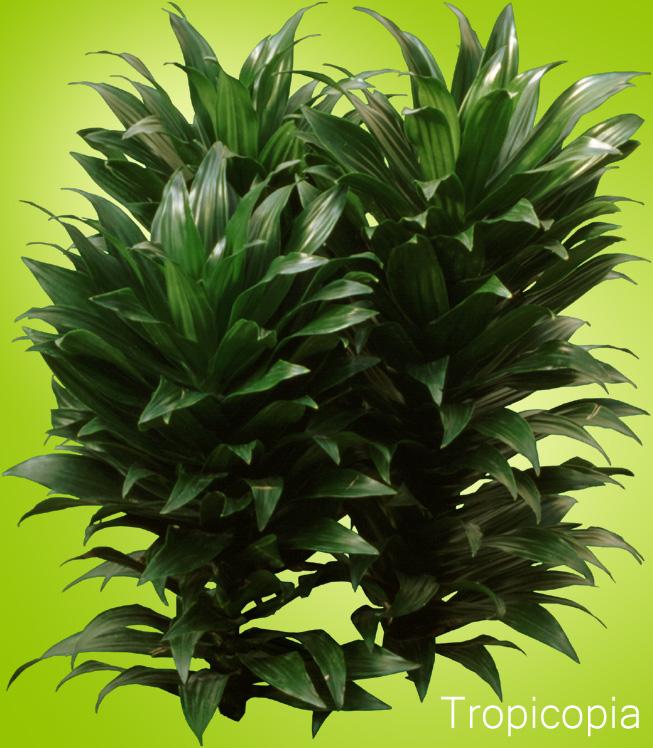 Dark- green Dracaena Compacta Plant