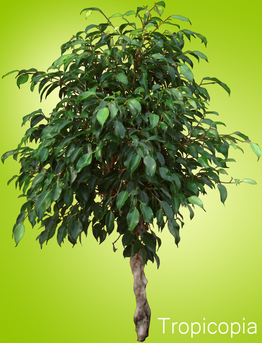 Dark green braided Ficus Benjamina Tree