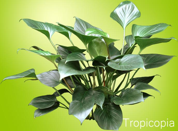 Dark green, spade shaped Emerald Gem Plant.