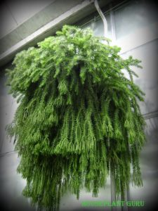 How To Care For A Tasel Fern Houseplant 411 How To