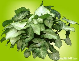 Green and white Arrowhead Plant
