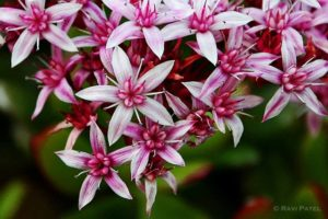 Bright pink and white Jade Plant flowers