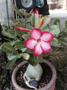 Desert-rose-plant