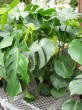 green Split leaf philodendron with splits in leaves.Philodendron with splits in the leaves