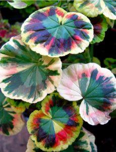 variegated-geraniums