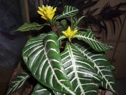 Yellow flower on Zebra Plant