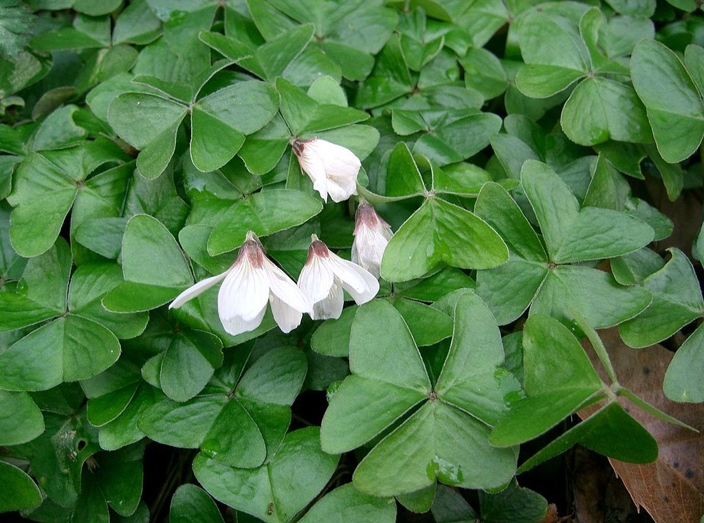 White flowers, clover shaped Shamrock Plant