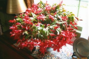 Bright red Thanksgiving Cactus