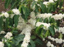 White flowers on Coffee Plant.