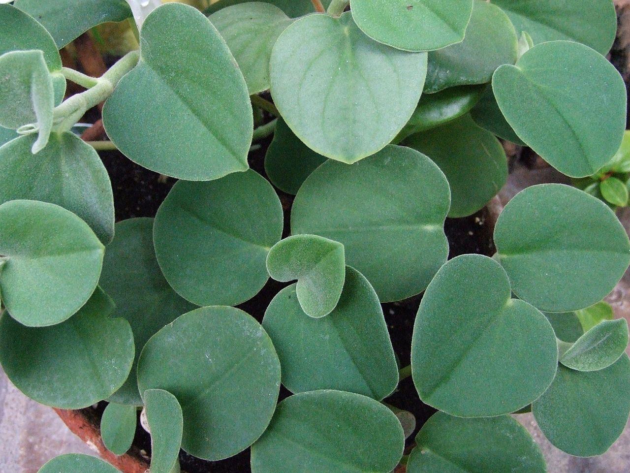 Identify Houseplant Peperomia Incana Askjudy