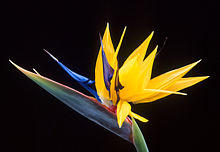 Yellow and blue Bird of Paradise plant flower.