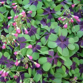 Purple Cross shaped markings on Shamrock leaves