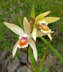 Bletilla ochracea Orchid