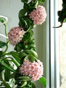 Twisted leaves, pink flowers on Hoya Hindu Rope Plant
