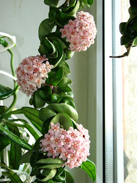 Hindu Rope Plant How To Grow Care Guide Hoya Houseplant 411