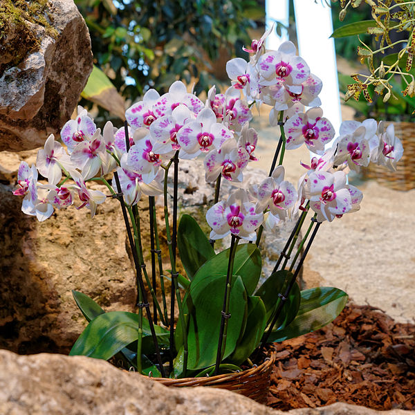 White Orchid Water Pink: How To Grow And Care For Orchid Plants