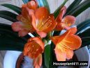 Large orange flowers and green leaves on Clivia Plant