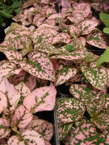 Pink and green polka Dot Plant