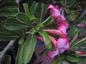 800px-Adenium_obesum_Forssk._Roem.__Schult._or_Desert_Rose_side