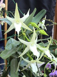 White Star of bethlehem Christmas Orchid