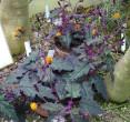 Purple and green hairy Purple Velvet Plant