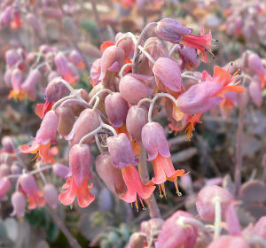 Purple and orange Kalanchoe flowers