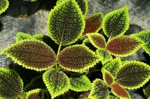 800px-Pilea_involucrata_(Sims)_Urban_Moon_Valley