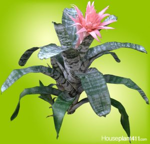 Pink Bromeliad with thick gray leaves