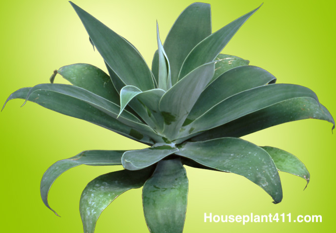 How To Grow Indoor Agave Plants Care Guide Houseplant 411
