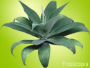 Thick green Agave Plant