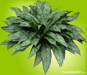 Gray and green variegated Chinese Evergreen leaves
