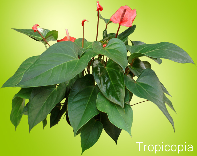 red anthurium plant click to enlarge - House Plant Identification Guide By Picture