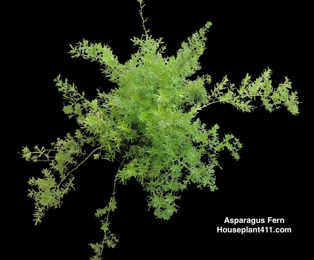 Asparagus fern is covered in tiny needle-like bright green leaves