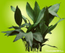 Green, pointed, course textured, leathery leaves of Cast Iron Plant