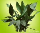 Dark green Cast Iron Plant