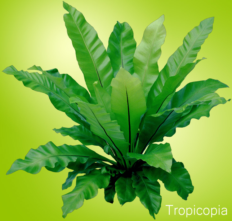 interesting fern house plants. Bright green  wavy Bird s Nest Fern Click to Enlarge How Grow Care Guide Houseplant 411