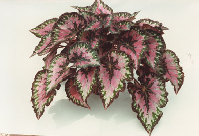Pink, green, and cream colored Begonia Rex Plant.