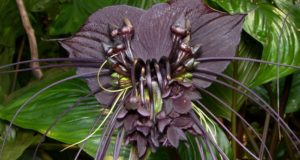 Dark, delicate black bat flower plant