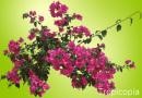 Pink Bougainvillea Plant