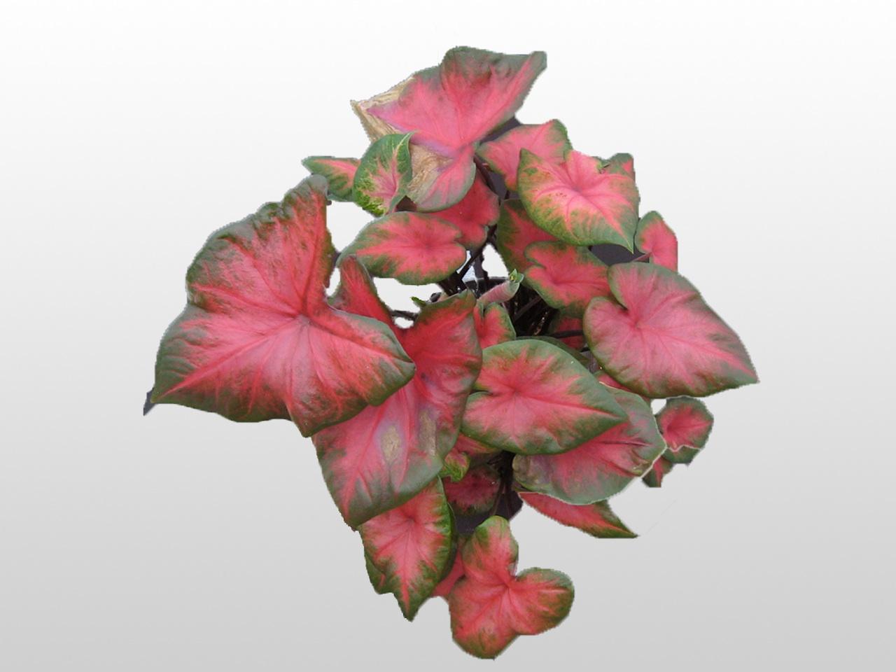 Pink and green Caladium Plant
