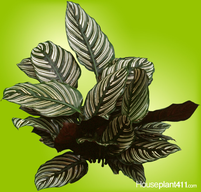 Striped leaves grow at the end of long stems on Calathea plants