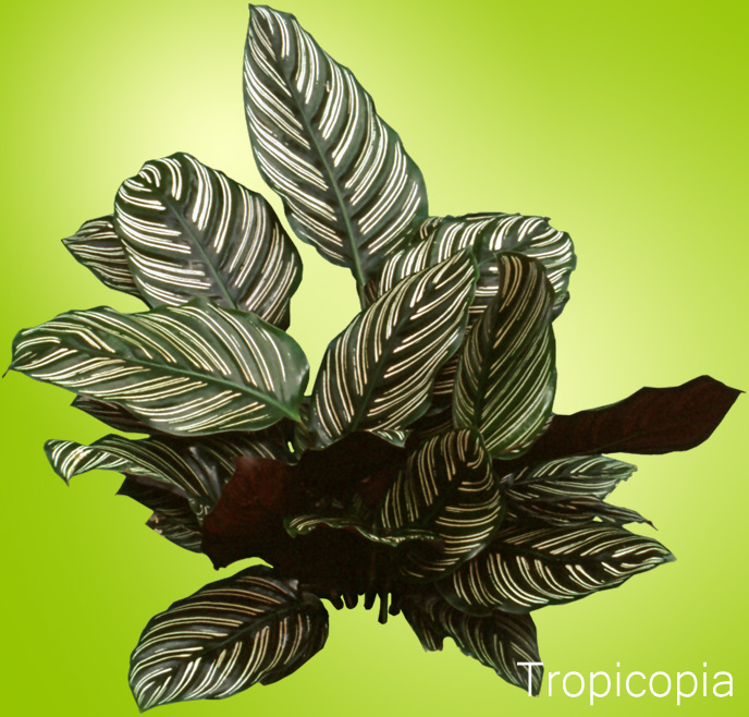 Pink and green striped Calathea Plant